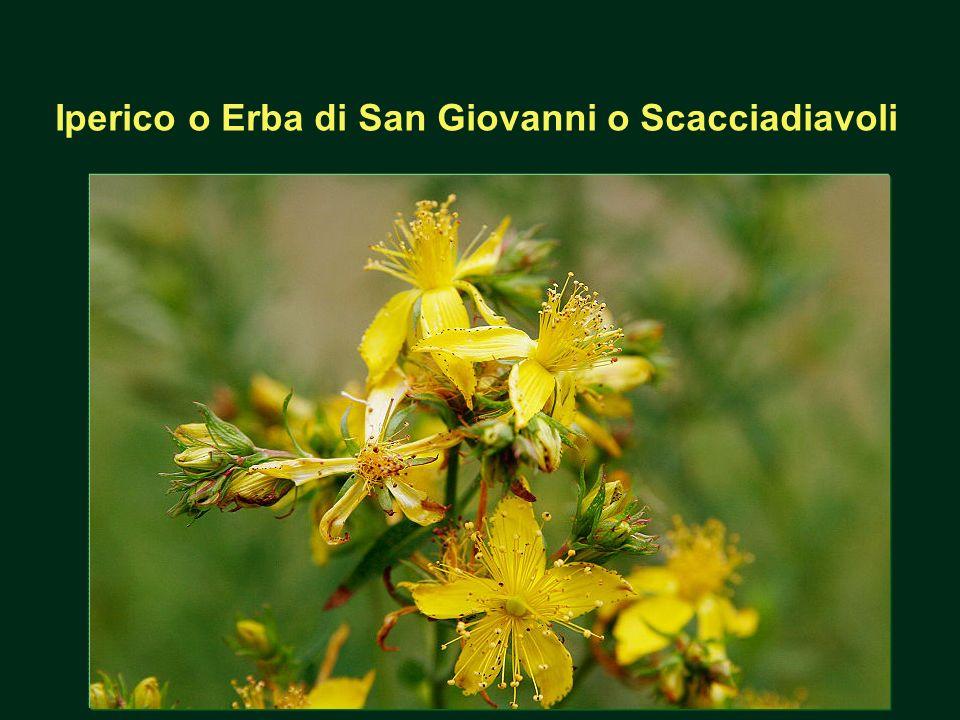 Iperico o Erba di San Giovanni o Scacciadiavoli