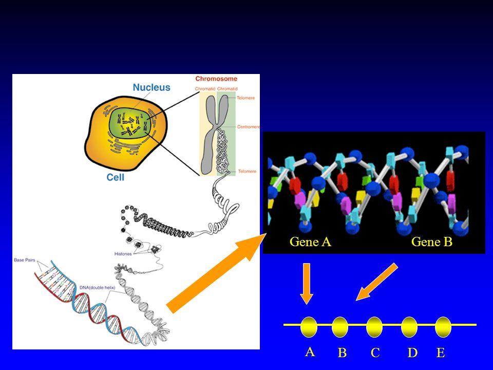 Gene A Gene B A B C D E