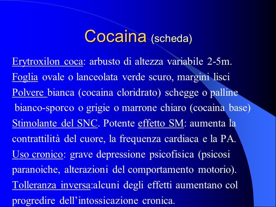 Cocaina (scheda) Erytroxilon coca: arbusto di altezza variabile 2-5m.