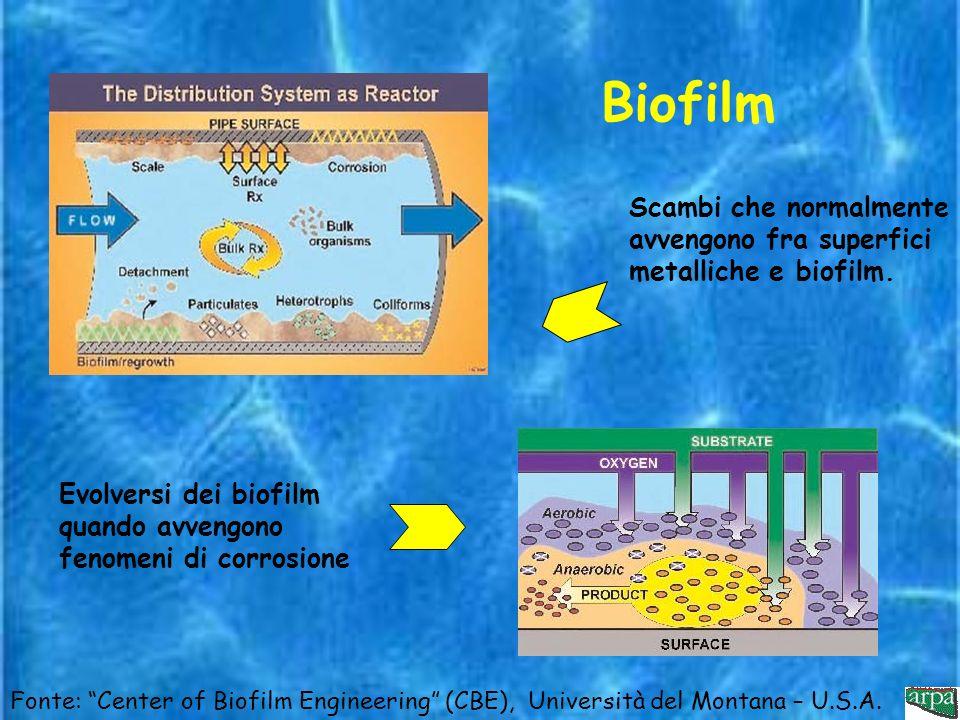 Biofilm Scambi che normalmente avvengono fra superfici metalliche e biofilm. Evolversi dei biofilm quando avvengono fenomeni di corrosione.