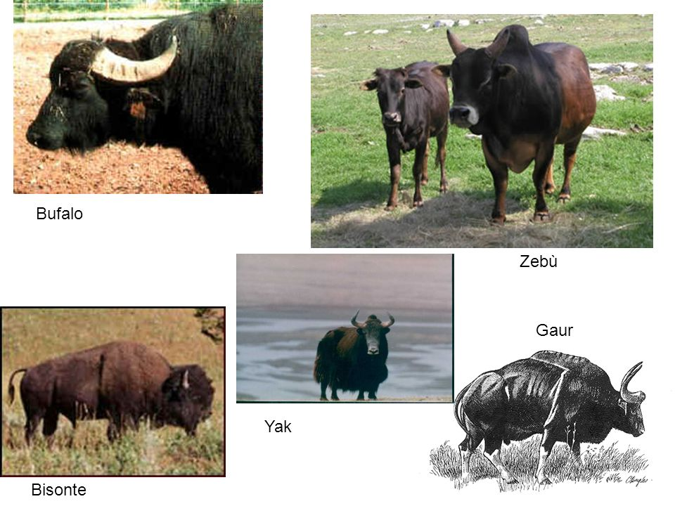 Bufalo Zebù Gaur Yak Bisonte