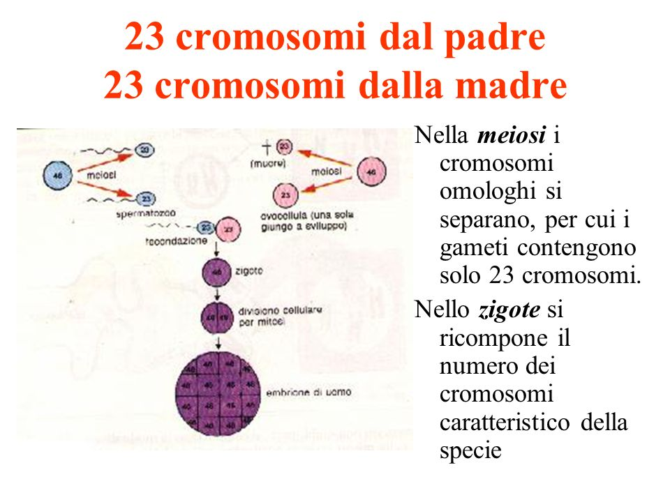 23 cromosomi dal padre 23 cromosomi dalla madre