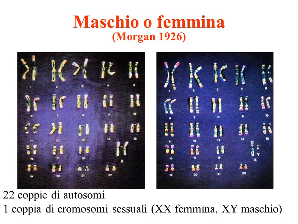 Maschio o femmina (Morgan 1926)