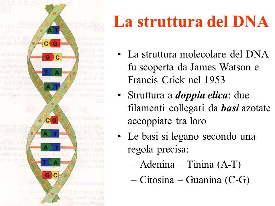 La struttura del DNA La struttura molecolare del DNA fu scoperta da James Watson e Francis Crick nel 1953.