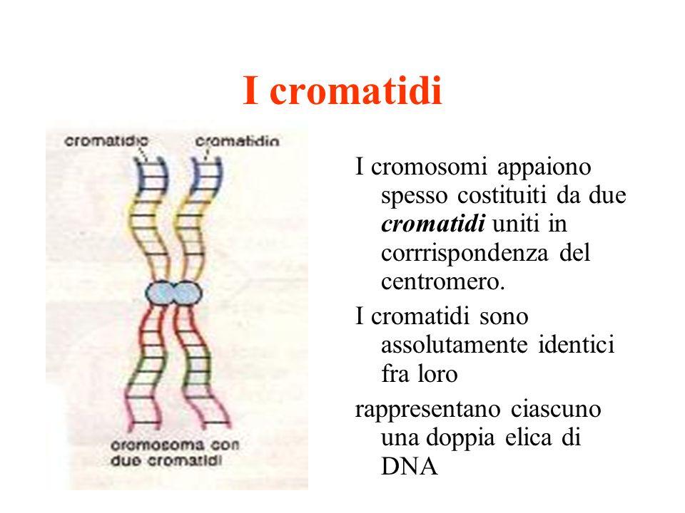 I cromatidi I cromosomi appaiono spesso costituiti da due cromatidi uniti in corrrispondenza del centromero.