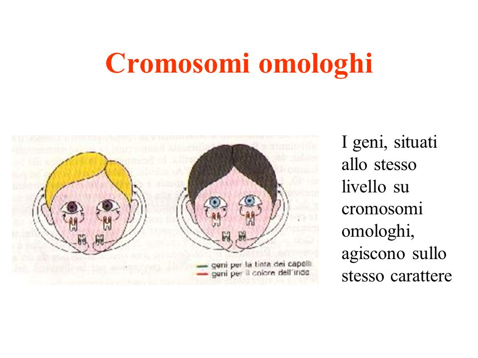 Cromosomi omologhi I geni, situati allo stesso livello su cromosomi omologhi, agiscono sullo stesso carattere.