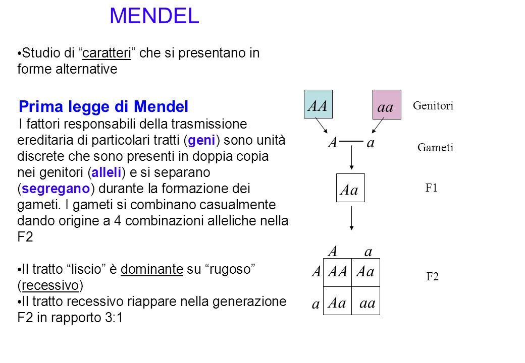 MENDEL Prima legge di Mendel AA aa A a Aa A a A AA Aa a Aa aa