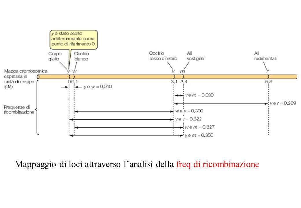 Mappaggio di loci attraverso l'analisi della freq di ricombinazione