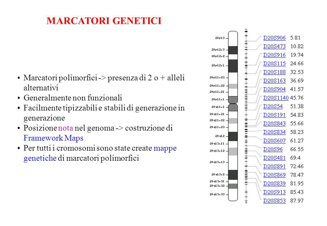 MARCATORI GENETICI Marcatori polimorfici -> presenza di 2 o + alleli alternativi. Generalmente non funzionali.