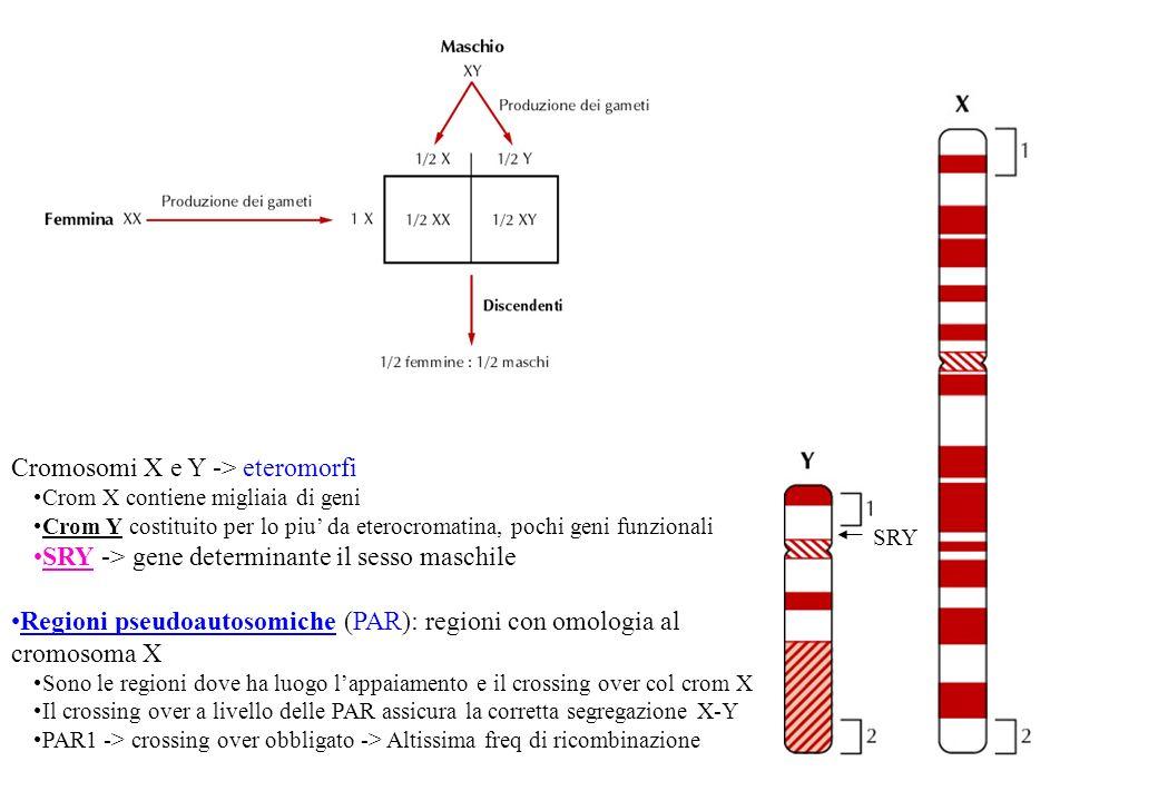 Cromosomi X e Y -> eteromorfi