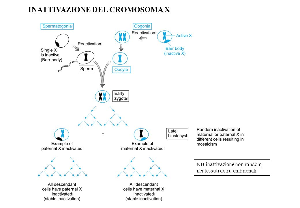 INATTIVAZIONE DEL CROMOSOMA X