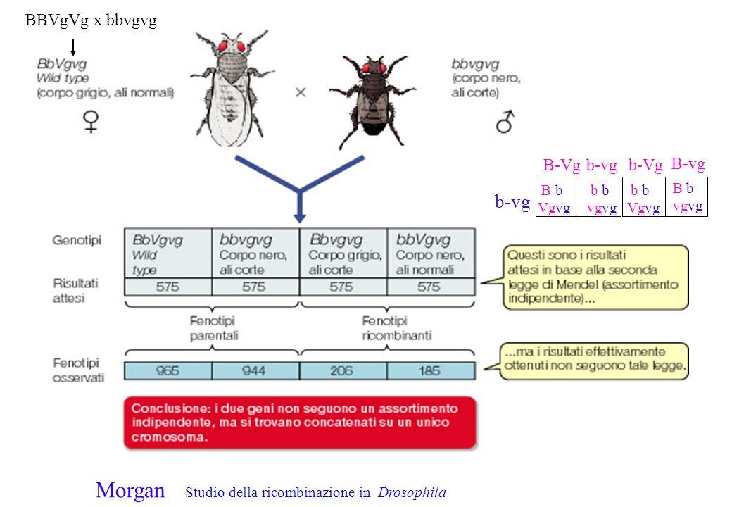 Morgan Studio della ricombinazione in Drosophila