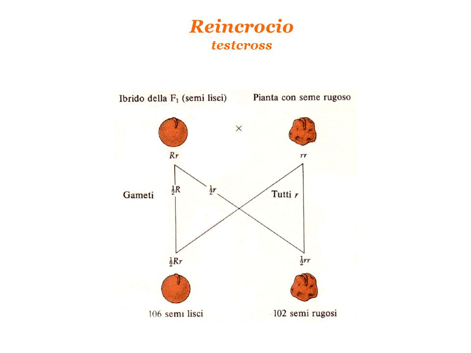 Reincrocio testcross