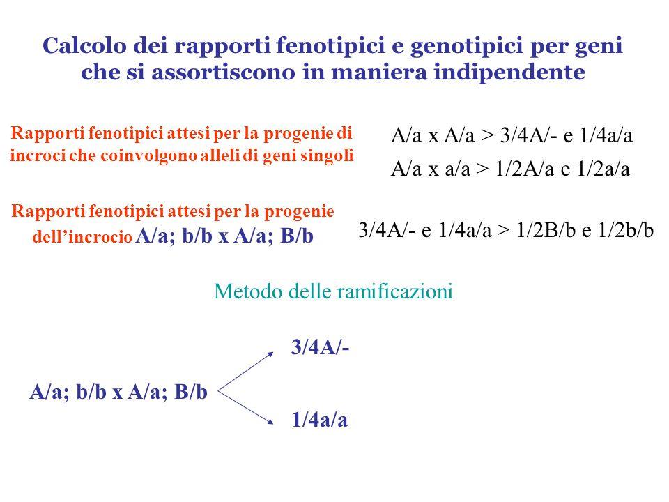 A/a x A/a > 3/4A/- e 1/4a/a