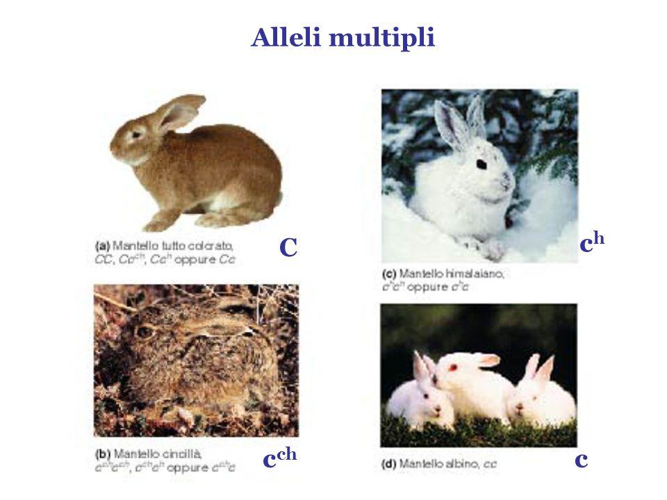 Alleli multipli ch C cch c