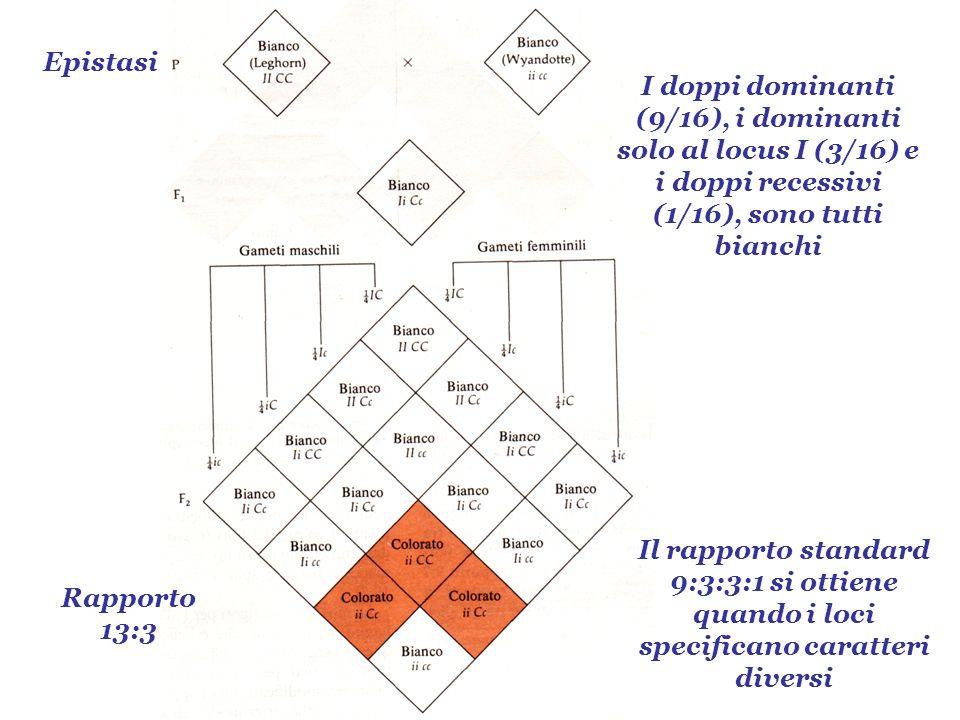 Epistasi I doppi dominanti (9/16), i dominanti solo al locus I (3/16) e i doppi recessivi (1/16), sono tutti bianchi.
