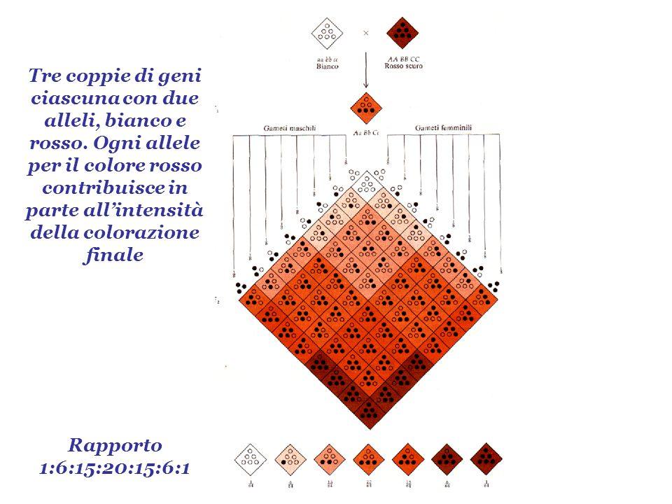 Tre coppie di geni ciascuna con due alleli, bianco e rosso