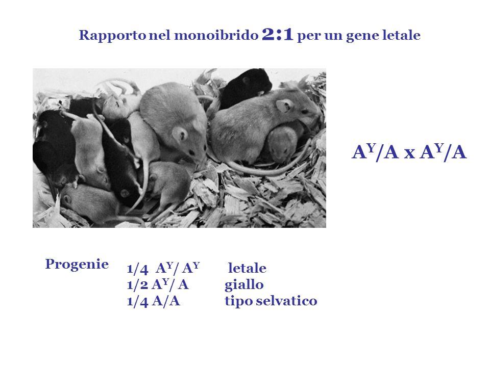 AY/A x AY/A Rapporto nel monoibrido 2:1 per un gene letale Progenie