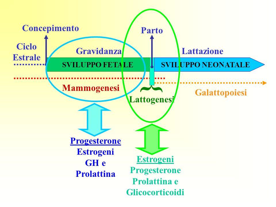 { Lattogenesi Mammogenesi Galattopoiesi Ciclo Estrale Concepimento