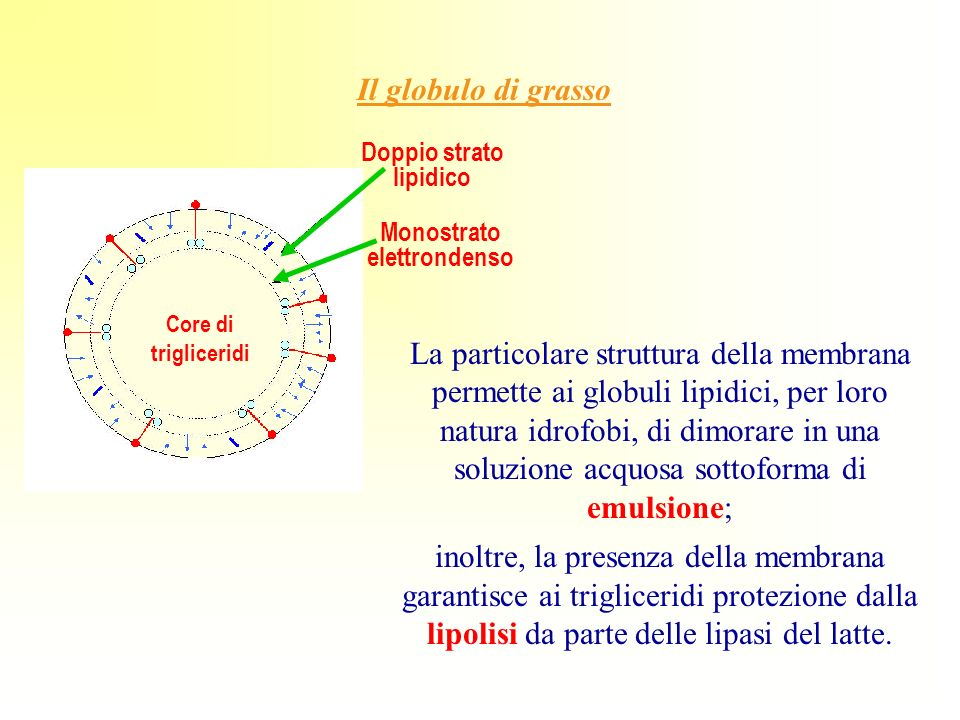 Monostrato elettrondenso Doppio strato lipidico