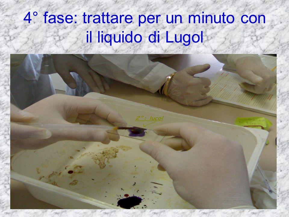 4° fase: trattare per un minuto con il liquido di Lugol