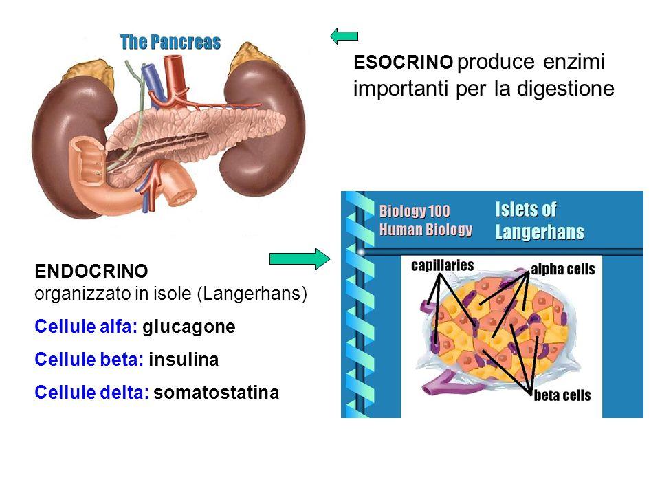 ESOCRINO produce enzimi importanti per la digestione