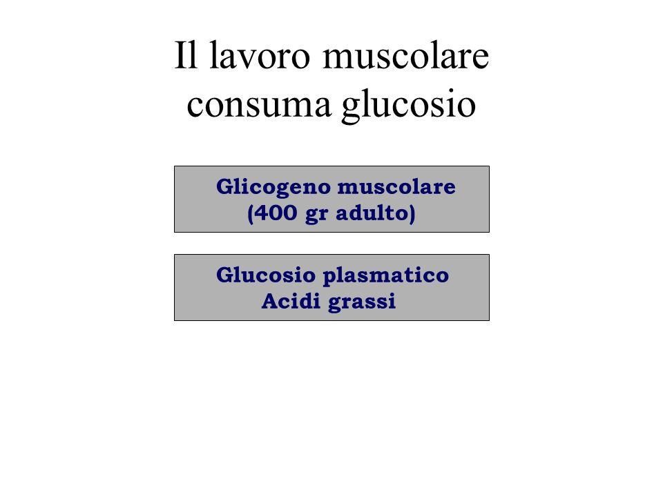 Il lavoro muscolare consuma glucosio
