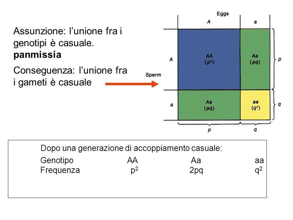 Assunzione: l'unione fra i genotipi è casuale. panmissia