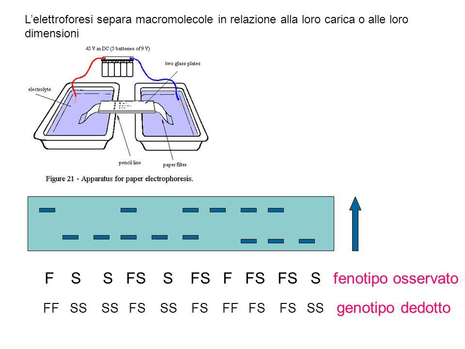 F S S FS S FS F FS FS S fenotipo osservato