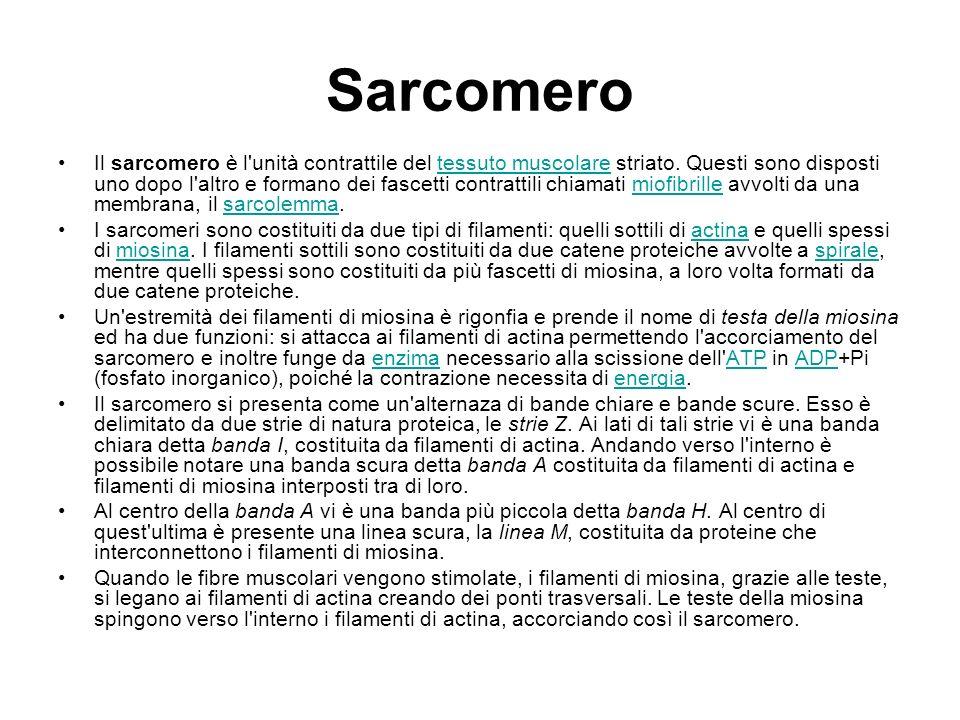 Sarcomero