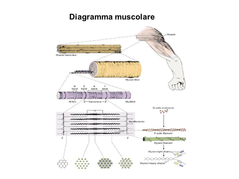 Diagramma muscolare