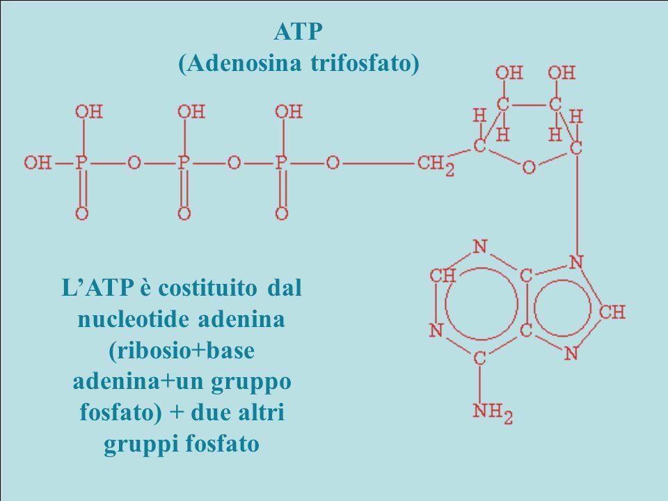 (Adenosina trifosfato)