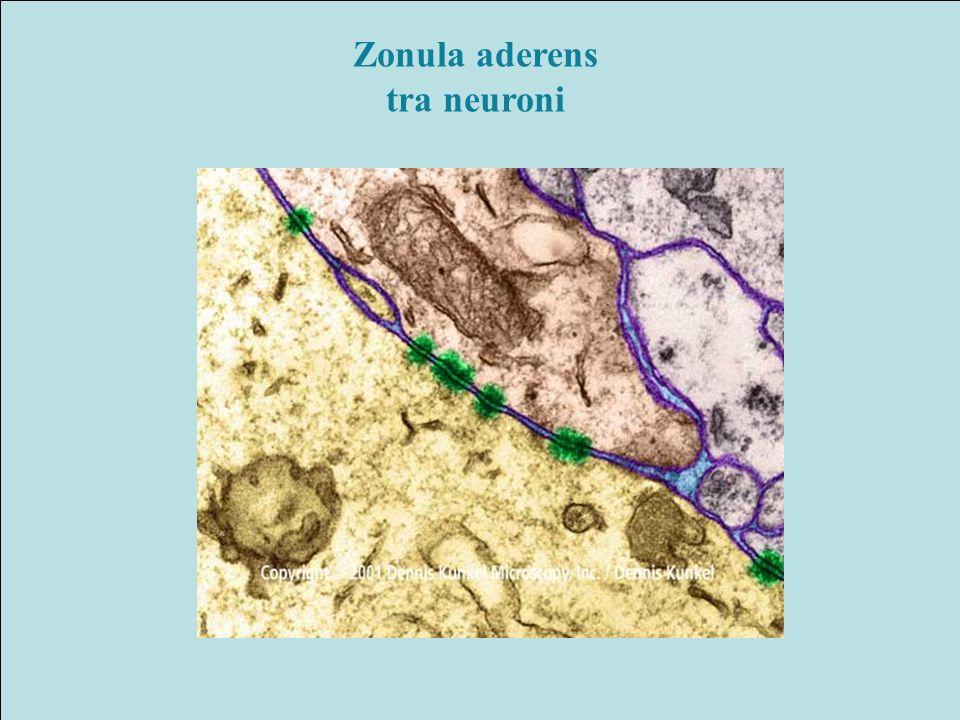 Zonula aderens tra neuroni