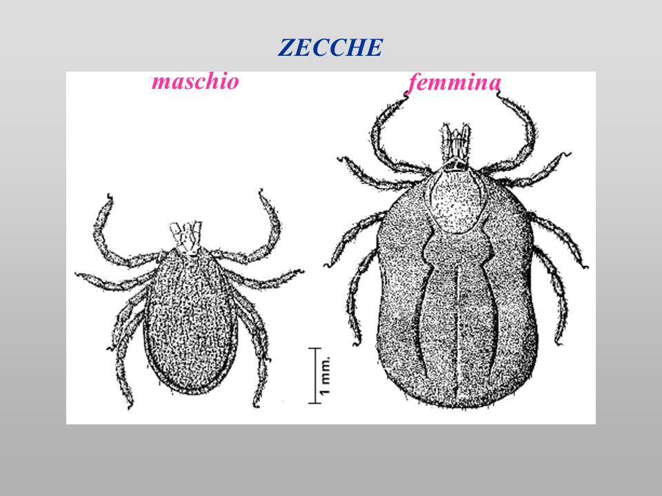ZECCHE maschio femmina
