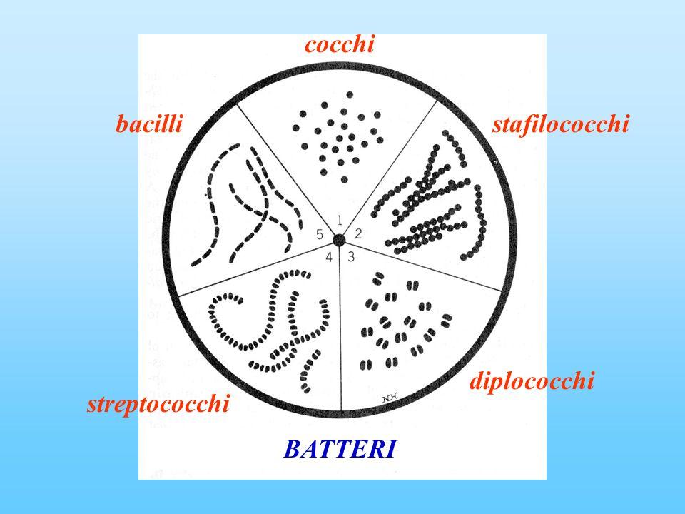 cocchi bacilli stafilococchi diplococchi streptococchi BATTERI
