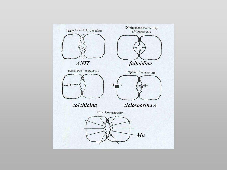ANIT falloidina colchicina ciclosporina A Mn