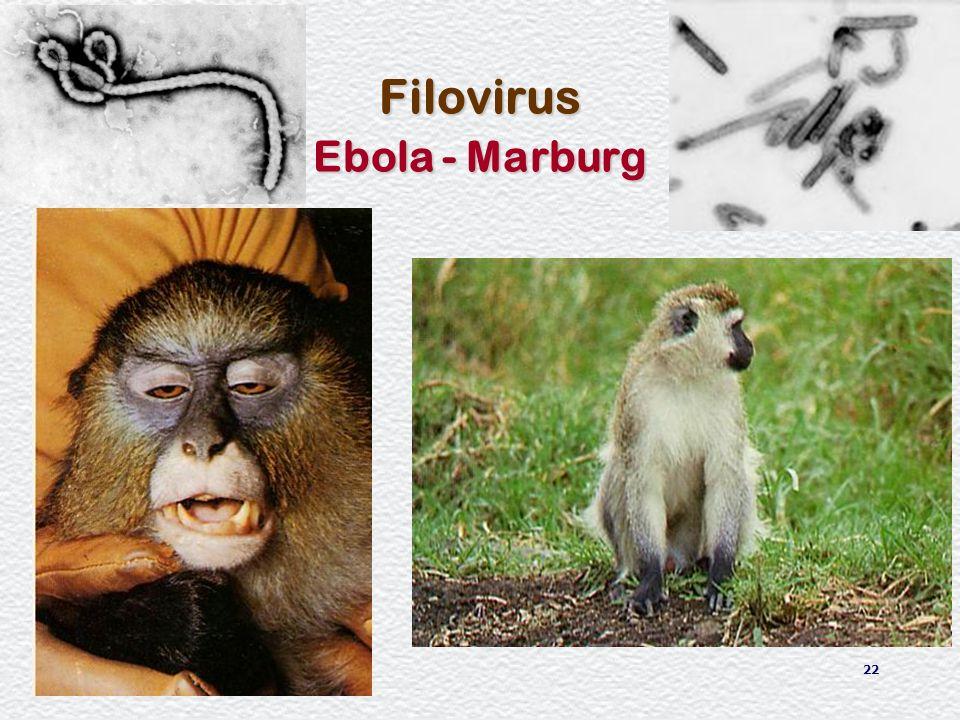 Filovirus Ebola - Marburg