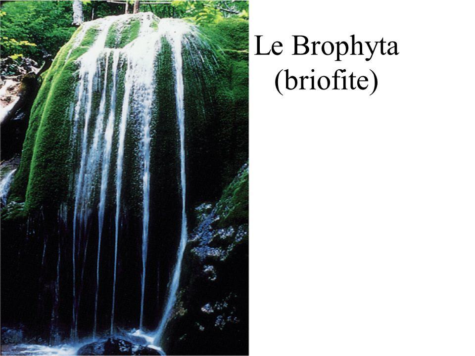 Le Brophyta (briofite)