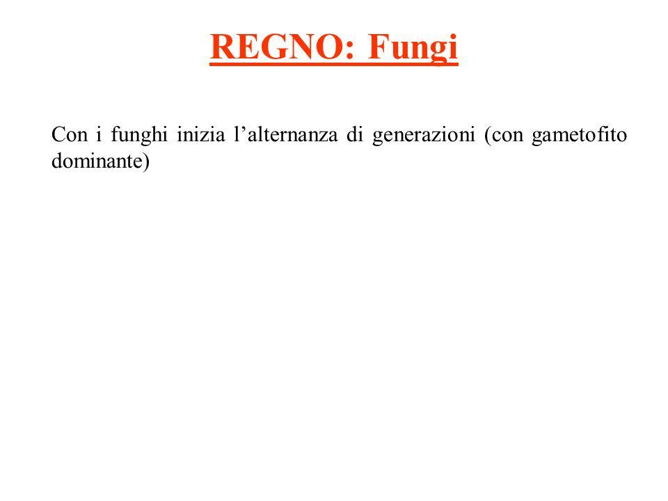 REGNO: Fungi Con i funghi inizia l'alternanza di generazioni (con gametofito dominante)