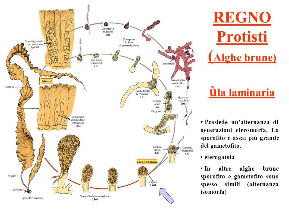 REGNO Protisti (Alghe brune) ùla laminaria