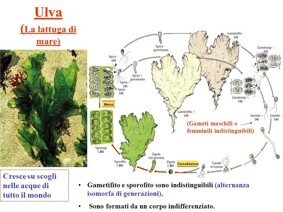 Ulva (La lattuga di mare)