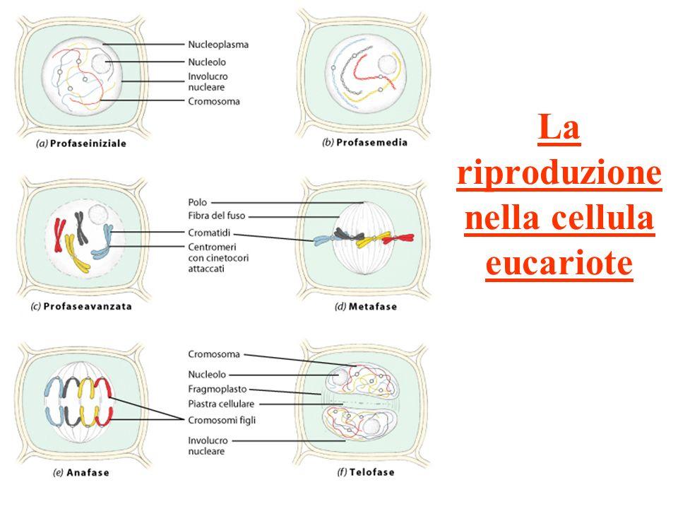 La riproduzione nella cellula eucariote