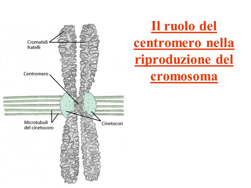 Il ruolo del centromero nella riproduzione del cromosoma