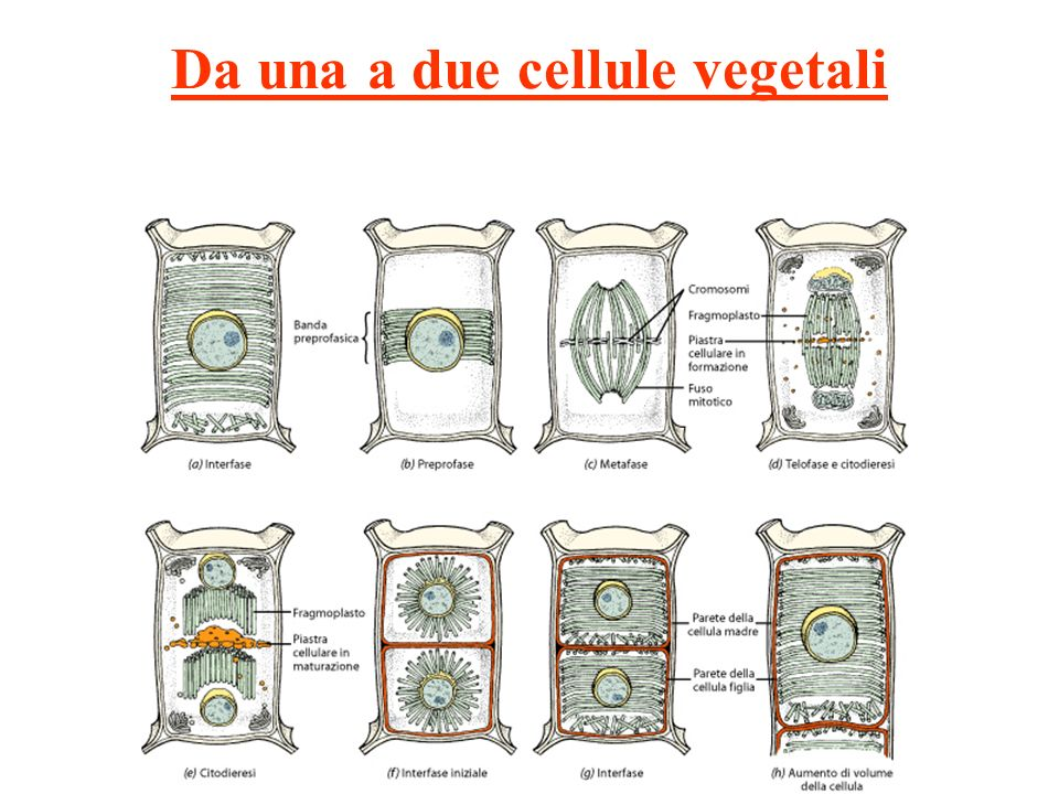Da una a due cellule vegetali