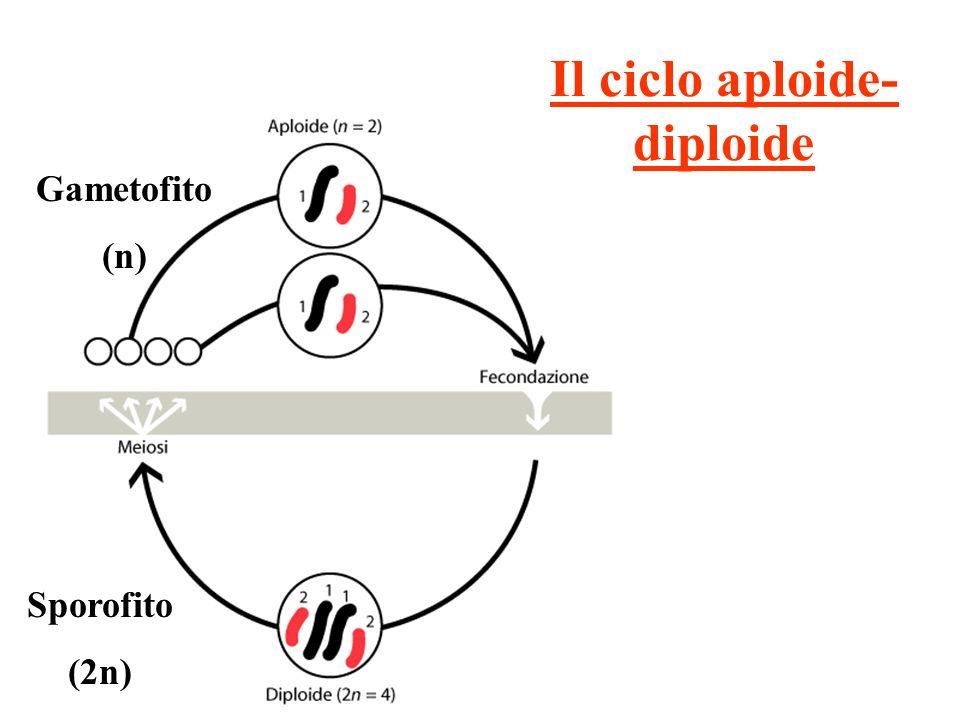 Il ciclo aploide-diploide