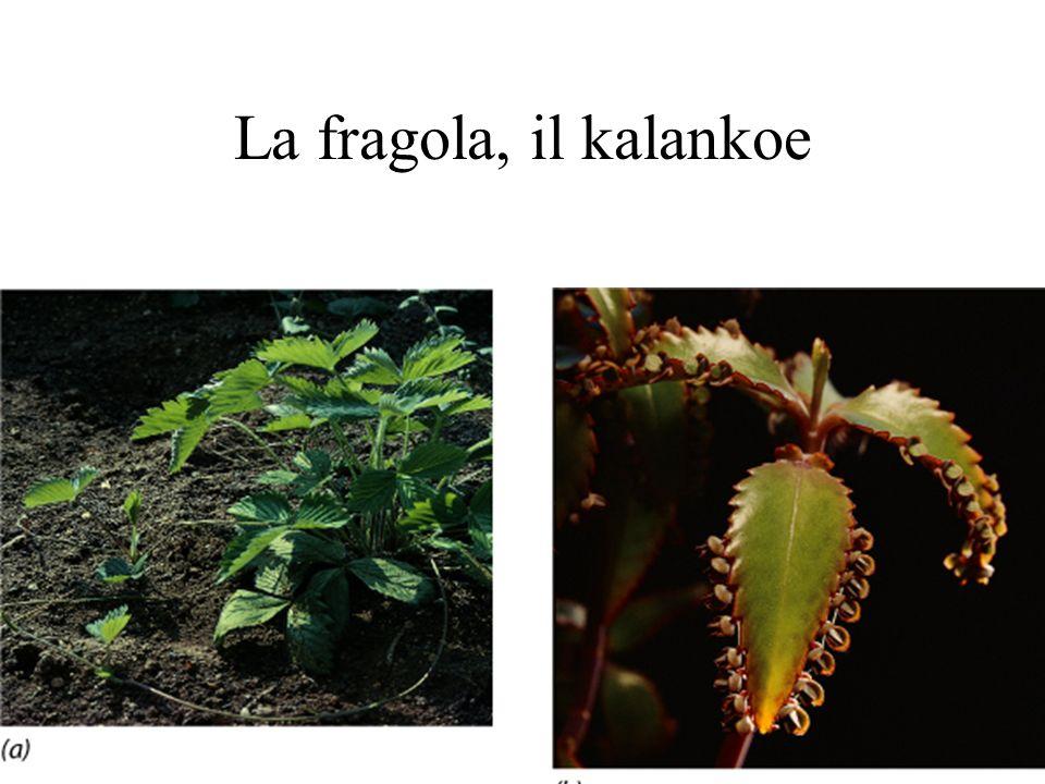 La fragola, il kalankoe