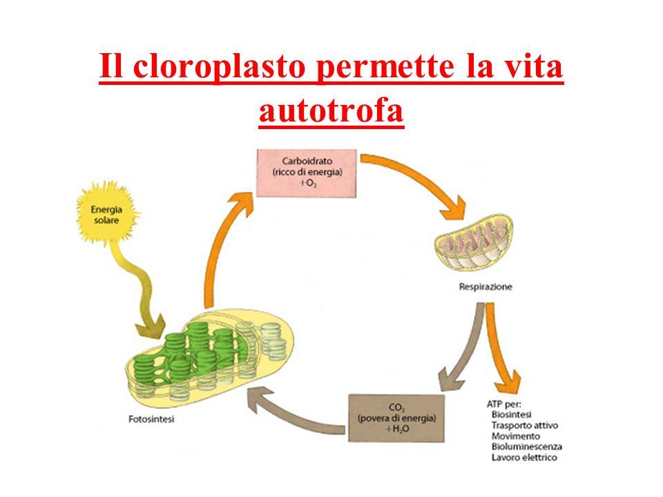 Il cloroplasto permette la vita autotrofa