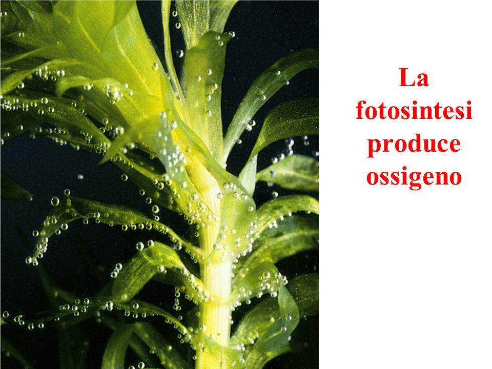 La fotosintesi produce ossigeno