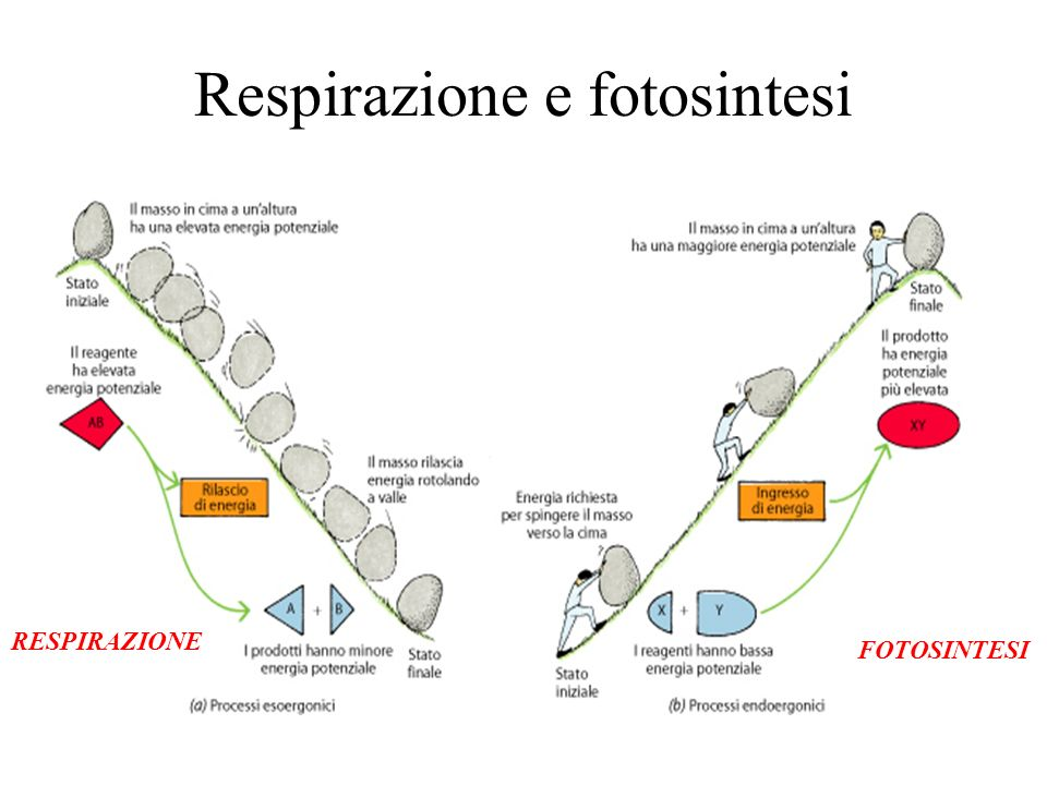 Respirazione e fotosintesi