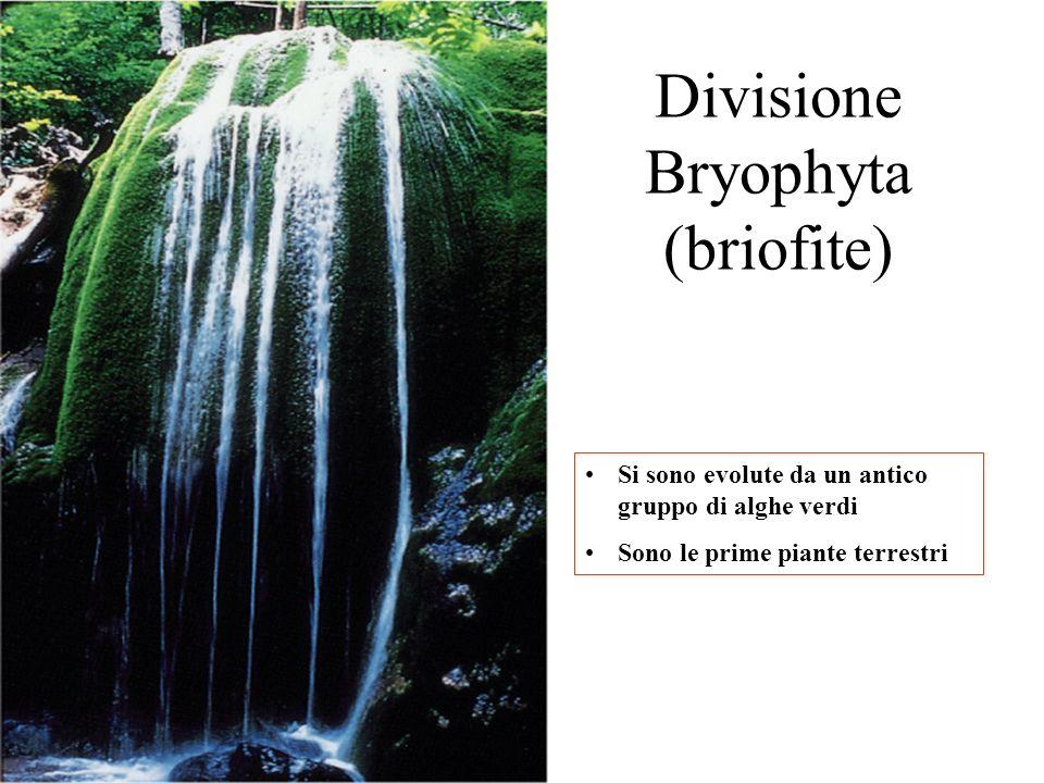 Divisione Bryophyta (briofite)